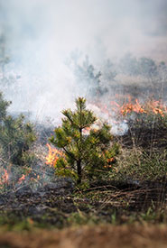A young Scots pine (non-native, invasive species) burning amongst the grasses. (Photo by NCC)