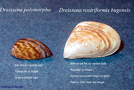 Zebra mussel (left) compared to the quagga mussel (right; Photo by USGS)