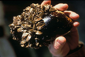 Zebra mussels (Photo by U.S. Fish and Wildlife Service)