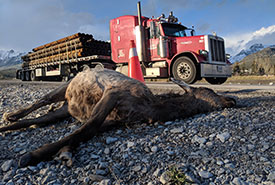 An elk killed by a vehicle in Alberta's Bow Valley. (Photo by Kelly Zenkewich, Yellowstone to Yukon)