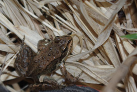 Columbia spotted frog at
