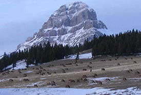 Habitat d'hiver du wapiti, mont Crowsnest en arrière-plan (Photo de CNC)