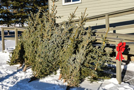 Holiday trees to take home (Photo by NCC)