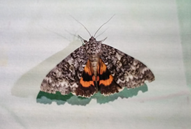Underwing moth (Photo by NCC)
