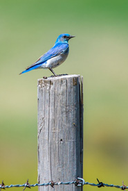 A bluebird finds a perch at the Napier Lake Ranch Conservation Area (Photo by Ed Hannan)
