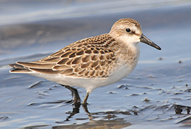 Semipalmated sandpiper (Photo by Denis Doucet)