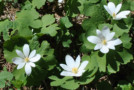 Bloodroot plant found in Barnett Woods, ON (Photo by NCC)