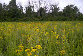 Recently restored field on Pelee Island, covered in grey-headed coneflower (Photo by NCC)