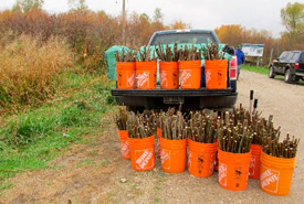Live stakes for replanting (Photo by Lisa Guthrie)