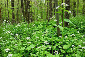Invasive garlic mustard can take over forests, harming native understory species (Photo by NCC)