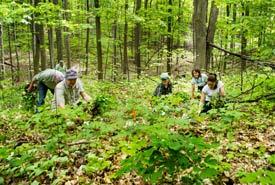 Des bénévoles arrachant des plants d'alliaire officinale dans la forêt Happy Valley, en Ontario (Photo de Miguel Hortiguela)