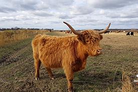 A cow at île du Moine, Quebec (Photo by Annie Favreau-Leclerc)