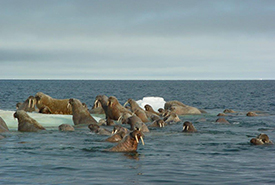 Walruses in Lancaster Sound, NU (Photo by Mario Cyr)