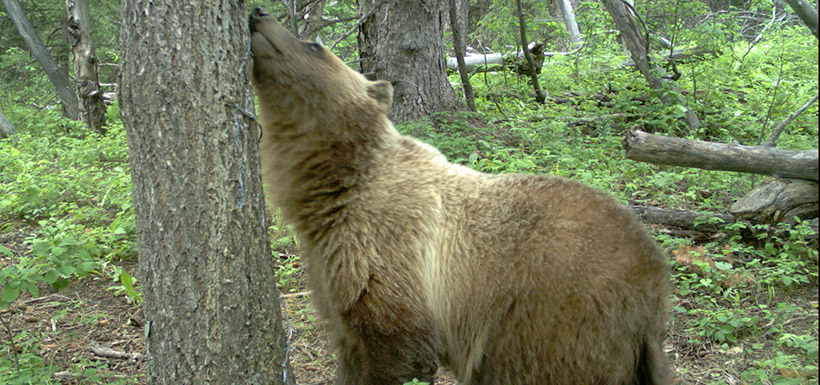 Grizzly bear, Brooks property, Waterton,AB (Photo by NCC)