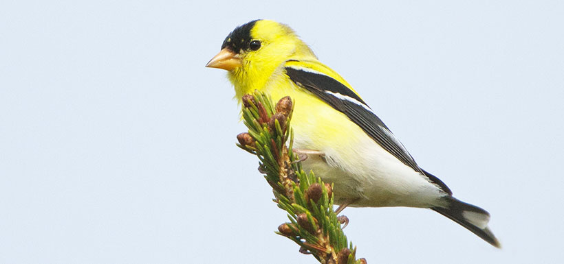 American Goldfinch (Photo by Ken Knowles)