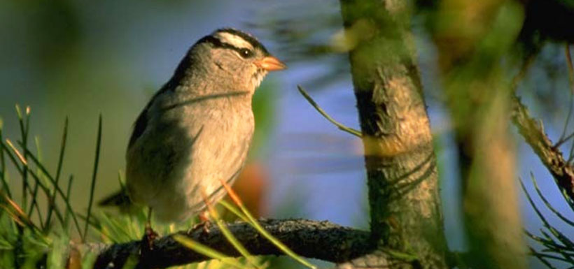 White Crowned Sparrow, AB, (Photo by Karol Dabbs)