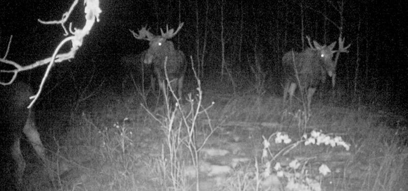 Moose at Rachel Agnes Haynes property (Photo by NCC)