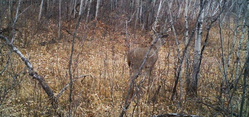Mule deer at Rockland Bay property (Photo by NCC)