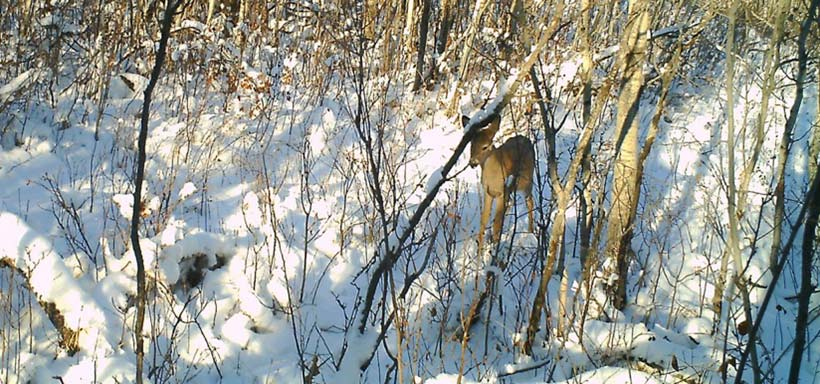 White-tailed deer at Rockland Bay property (Photo by NCC)