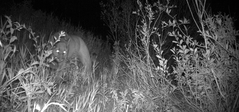 Cougar caught on camera in the Crowsnest Pass (Photo by NCC)
