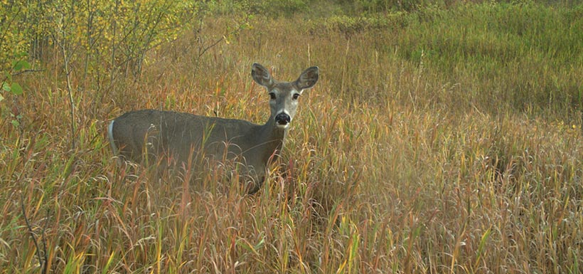 Deer caught on camera in the Crowsnest Pass (Photo by NCC)