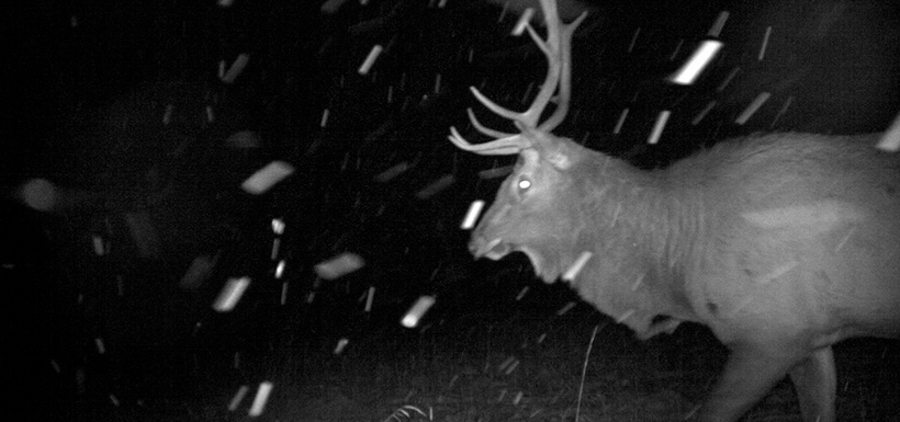 Elk caught on camera in the Crowsnest Pass (Photo by NCC)