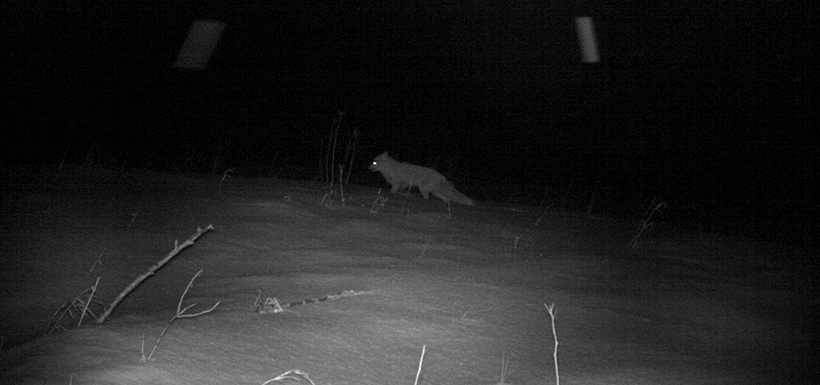 Fox caught on camera in the Crowsnest Pass (Photo by NCC)