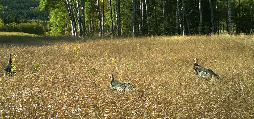 Wild turkeys caught on camera in the Crowsnest Pass (Photo by NCC)