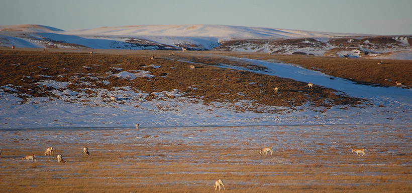 A herd of pronghorn antelope in the Pakowki Lake natural area. (Photo by NCC)