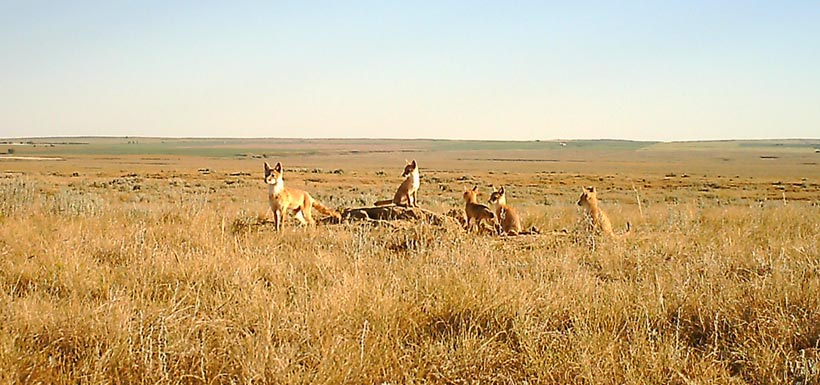Swift foxes in southern Alberta (Photo by NCC)