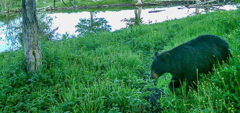 Black bear, Waterton, Alberta (Photo by NCC)