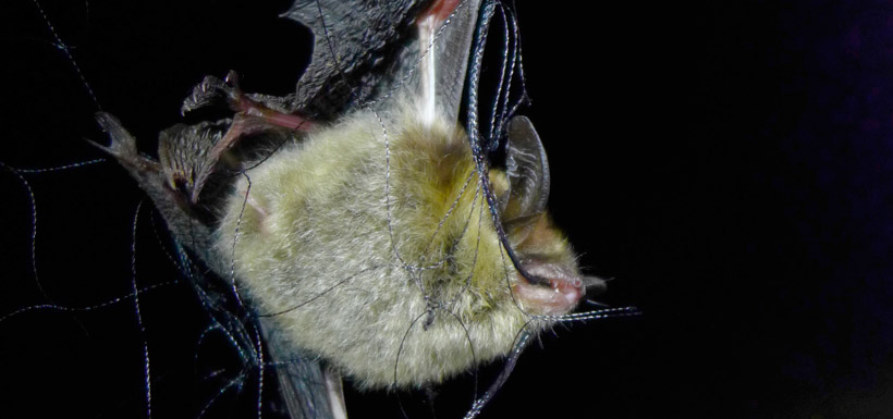 Bat in net (Photo by Todd Carnahan)