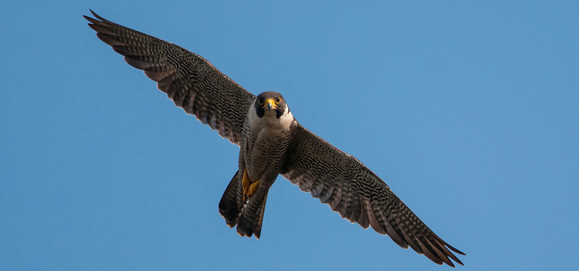 Peregrine falcon  (Photo by Stuart Clarke)