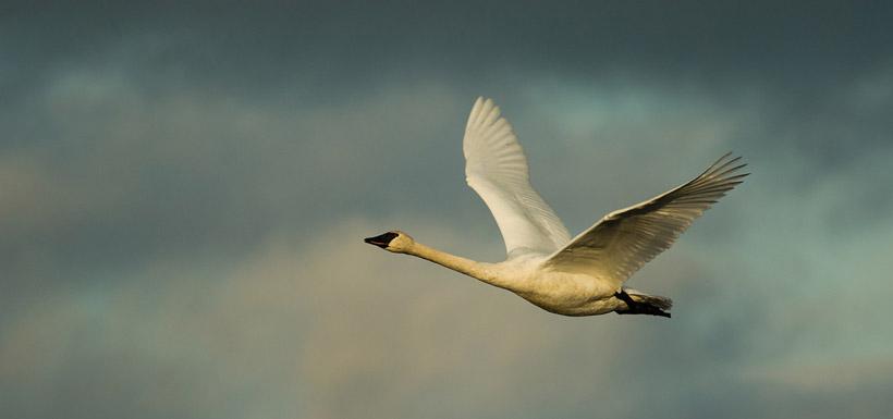 Trumpeter swan (Photo by Stuart Clarke)