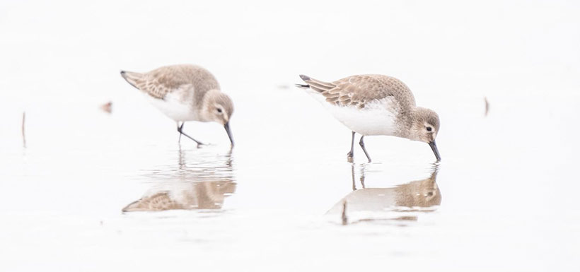 Sandpipers are one a species that uses the area in the winter. (Photo by Fernando Lessa)