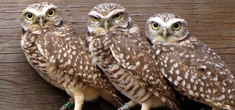Burrowing owls just like these ones will be introduced to these burrows in the spring (Photo by Dianne Bersea)