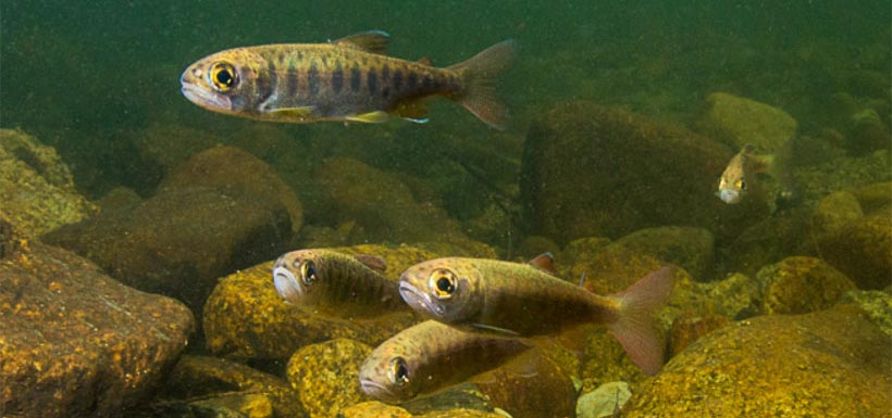 Salmon fry swimming with the run. (Photo by Fernando Lessa)