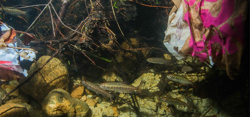 Fry swim among litter, a problem for BC waters. (Photo by Fernando Lessa)