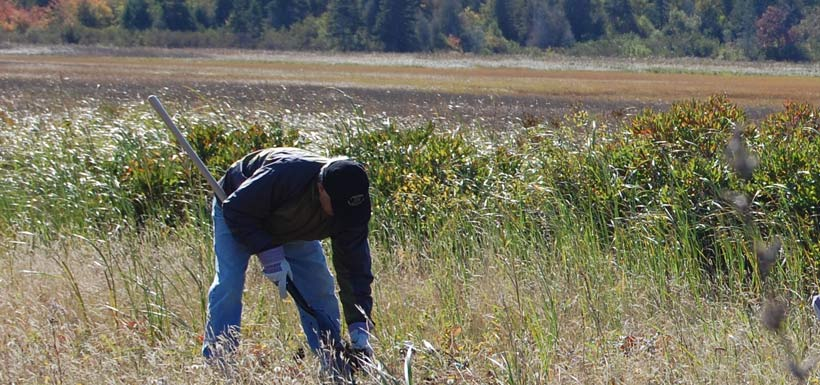 By '08 CVs were blooming across Canada. Barachois planting, ATL(Photo by NCC)