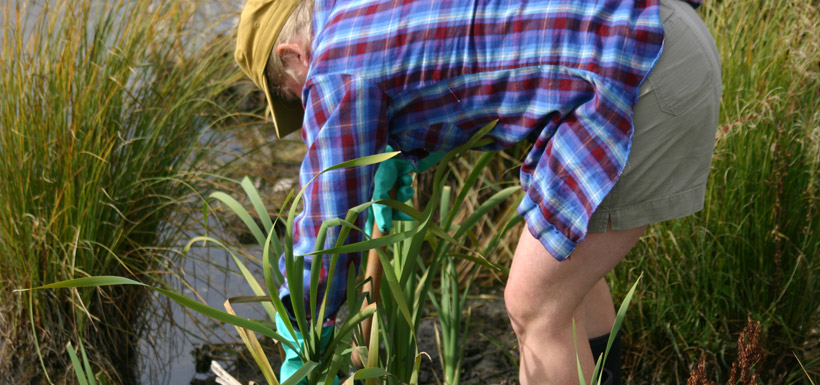 Harvesting cattails at the Cooking with Cattails event.  (Photo by NCC)