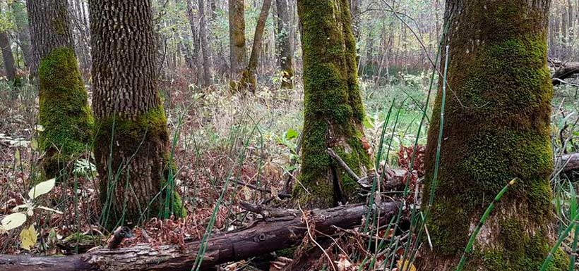 Black ash swamp with sprauge moss. (Photo by Richard Caners)