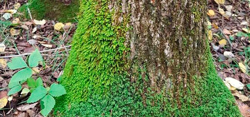 Black ash with eastern epiphytic moss. (Photo by Richard Caners)