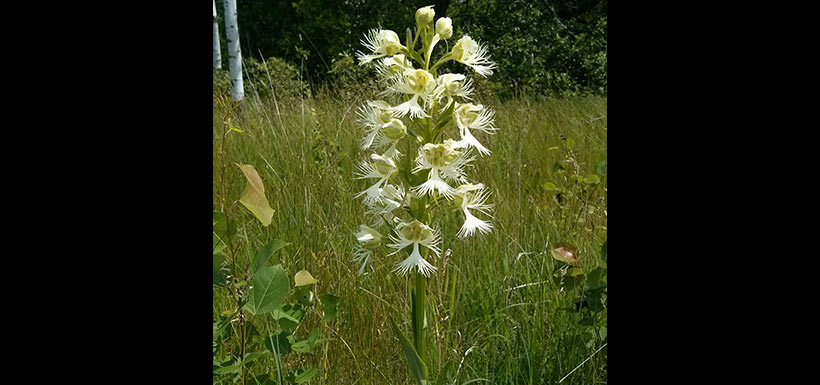 The endangered western prairie fringed orchid. (Photo by Monica Reed)
