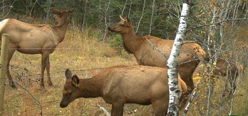 Elk cows crossing wildlife-friendly fencing. Photo by NCC.