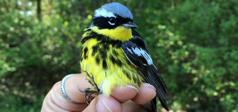 Magnolia warbler banded at Long Point - Old Cut Station (Photo by Tianna Burke)
