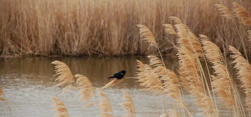 Male red-winged blackbird on common reed (Photo by Keven Chan)