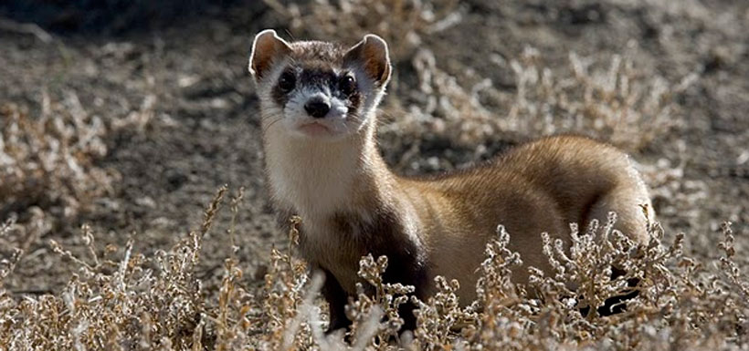 Black-footed ferret (Photo by U.S. Fish and Wildlife Services)