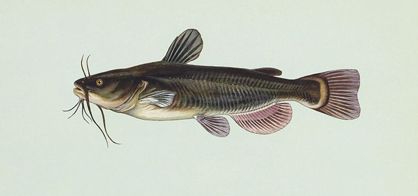 Illustration of a black bullhead (Photo from Wikimedia Commons)