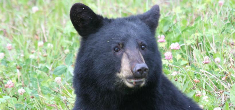 Black bear, MB (Photo by NCC)
