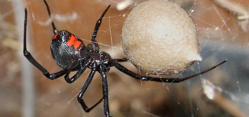 Black widow spider (Photo by Chuck Evans)